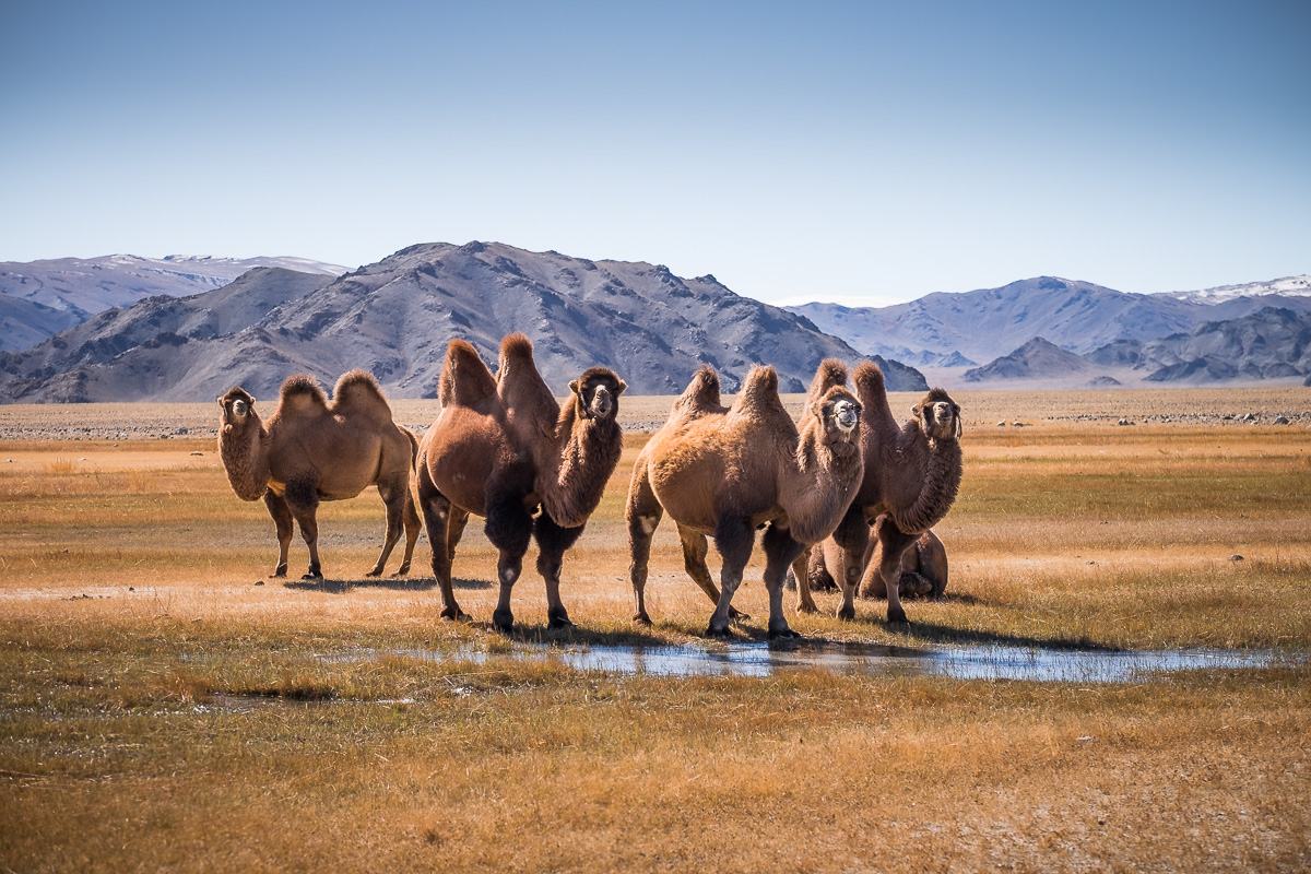 Camels are part of traditional Mongolian live stock together with horses, cows, sheep and goats. Most often they are roaming free on pastures and summoned by masters when there is a need to transport some cargo to remote locations. This is a lazy photographer shot, the only occasion to ask the driver to stop the car.